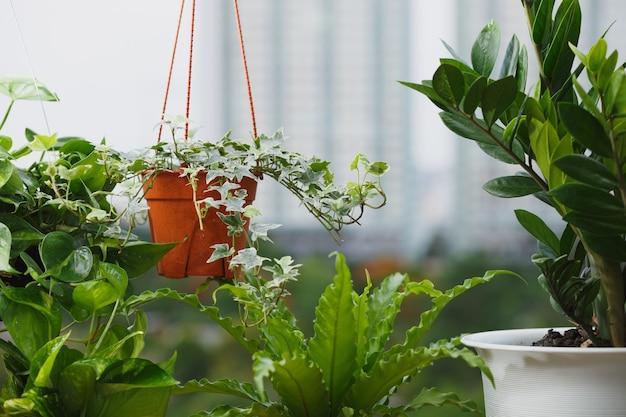 Koncepcja domu i ogrodu z zanzibar gem, bluszcz angielski, asplenium nidus, pothos. roślina doniczkowa na balkonie z tłem budynku