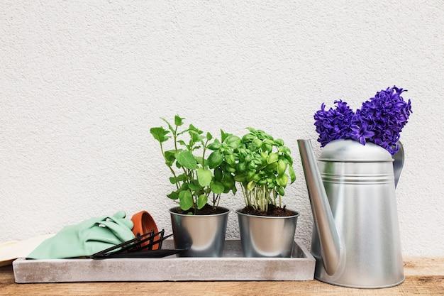 Koncepcja hobby ogrodniczego, niebiesko-fioletowy hiacynt, zielona mięta i zioła bazylii w metalowej doniczce, małe widły ogrodowe lub grabie i łopata, rękawiczki, doniczka ceramiczna, konewka na starym drewnianym stole, betonowa taca