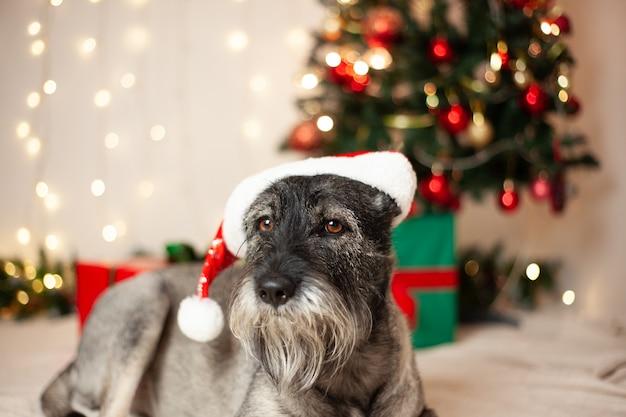 Koncepcja nowego roku, boże narodzenie. zabawny pies z brodą w czapce mikołaja na tle girland i choinki.