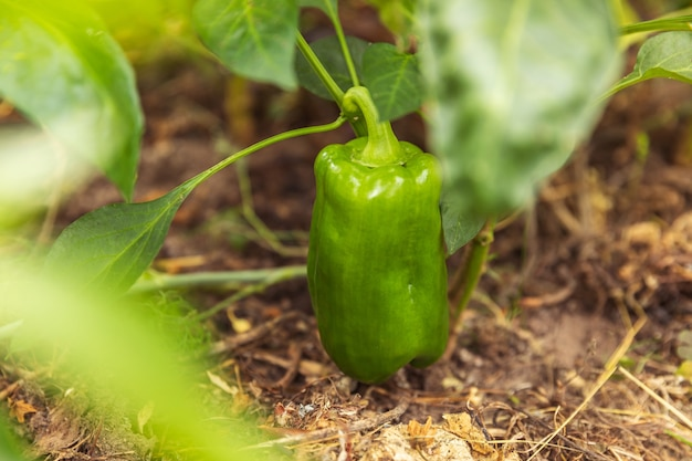 Koncepcja ogrodnictwa i rolnictwa idealna zielona świeża, dojrzała papryka organiczna gotowa do zbioru ...
