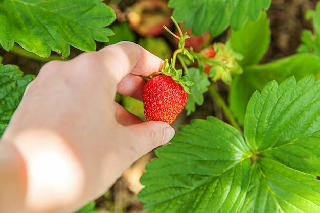 Koncepcja ogrodnictwa i rolnictwa. żeńska robotnik rolny ręka zbiera czerwoną świeżą dojrzałą organicznie truskawki w ogródzie. wegańska wegetariańska produkcja żywności domowej roboty. kobieta zbiera truskawki w polu.