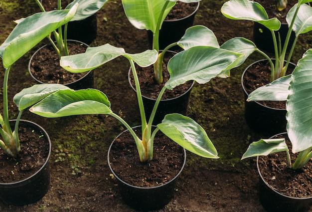 Koncepcja ogrodnictwa, sadzenia i flory - bliska roślin w doniczkach w szklarni