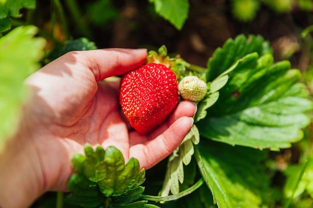 Koncepcja ogrodnicza. robotnik rolny ręcznie zbierający czerwone świeże dojrzałe organiczne truskawki w ogrodzie