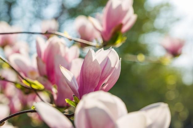 Koncepcja ogrodu botanicznego. oddział magnolii. kwiaty magnolii. magnoliowy kwiatu tła zakończenie up. rozkwit przetargu. kwiatowe tło. zapach i zapach. wiosna. botanika i ogrodnictwo
