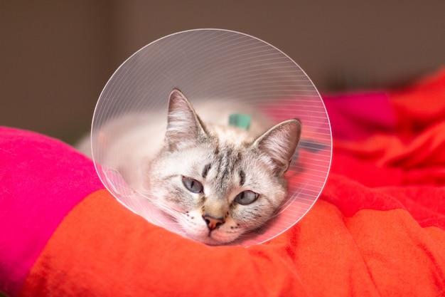 Koncepcja opieki nad zwierzętami śpiący kot w elżbietańskim kołnierzu, e-kołnierzu lub kołnierzu z biustem z miejscem na kopię