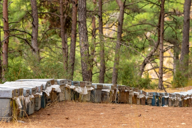 Koncepcja pszczelarstwa. kolorowe ule i latające pszczoły w pasiece w pobliżu lasu sosnowego