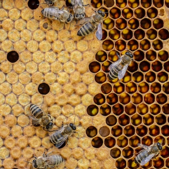 Koncepcja pszczelarstwa, tekstura komórki o strukturze plastra miodu, na której poruszają się i pracują pszczoły.