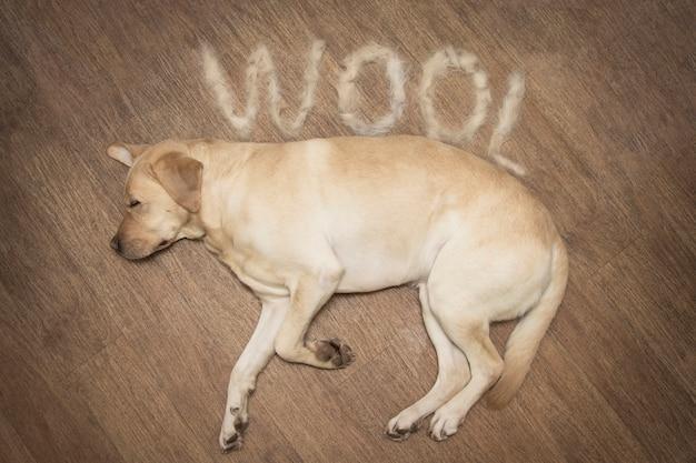 Koncepcja rocznych psów molt. labrador leży na podłodze