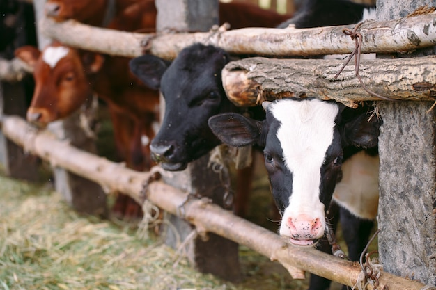 Koncepcja rolnictwa, hodowli i hodowli zwierząt. stado krów w oborze na fermie mlecznej