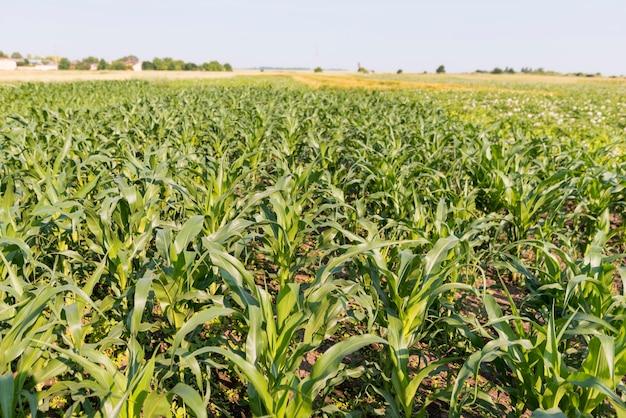 Koncepcja rolnictwa pola kukurydzy wysoki widok