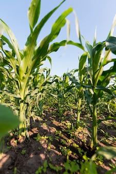 Koncepcja rolnictwa pola kukurydzy