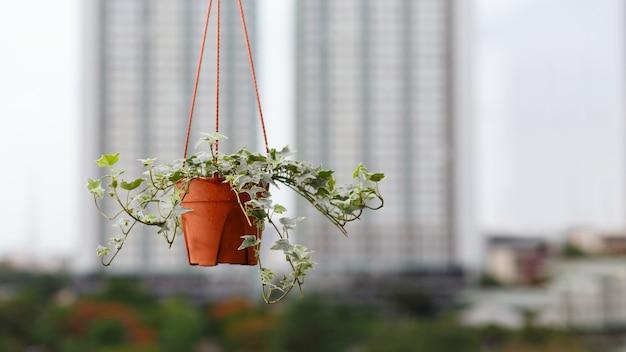 Koncepcja rośliny doniczkowej angielskiej rośliny bluszczu w doniczce na tle mieszkania lub budynku