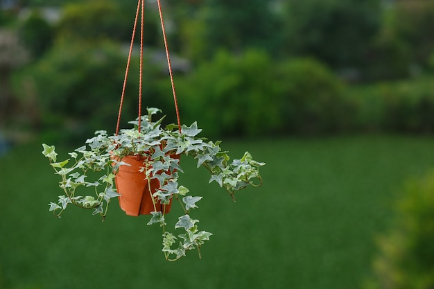 Koncepcja rośliny doniczkowej angielskiej rośliny bluszczu w doniczce na zielonym tle drzewa