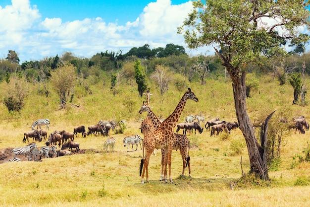 Koncepcja safari. afrykański typowy krajobraz. gnu, zebry i żyrafy w afrykańskiej sawannie. park narodowy masai mara, kenia.