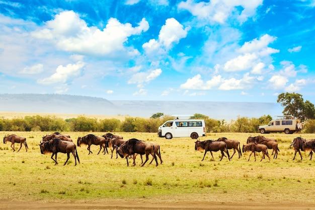 Koncepcja safari. samochody safari z gnu na afrykańskiej sawannie podczas wielkiej migracji. park narodowy masai mara, kenia. dzika przyroda afryki.