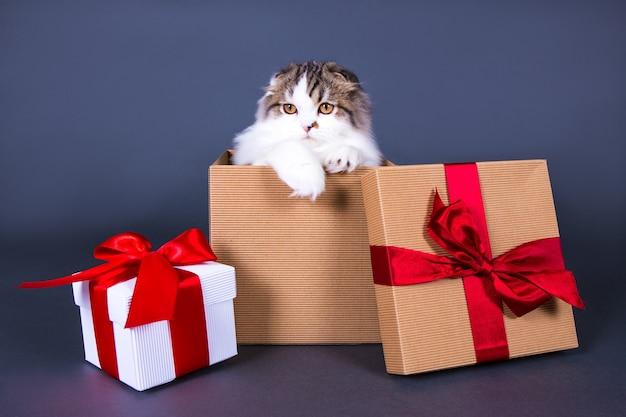 Koncepcja świąteczna lub urodzinowa - słodki młody brytyjski kot siedzący w pudełku na szarym tle