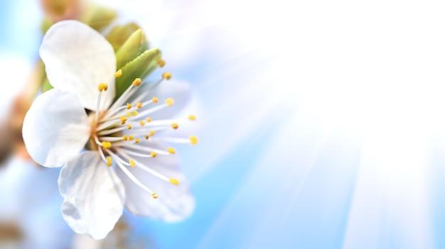 Koncepcja tło natura. białe kwiaty na drzewach w promieniach słońca