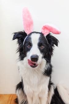 Koncepcja wesołych świąt. zabawny portret ładny uśmiechnięty szczeniak rasy border collie sobie uszy królika wielkanocnego na białym tle w domu