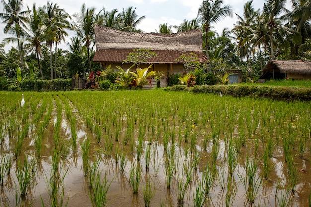 Koncepcja wioski bali. piękna dżungla i pola ryżowe azji.