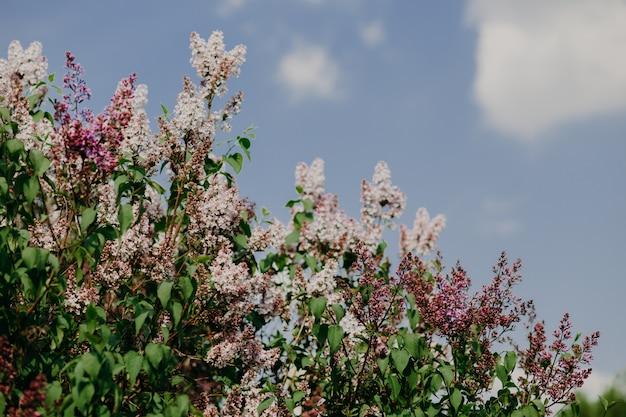 Koncepcja wiosny i kwitnąć. piękny purpurowy bez w ogródzie przeciw niebieskiemu niebu z chmurami