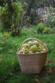 Koncepcja zbiorów jesienią świeże zielone jabłka w koszu z ogrodem