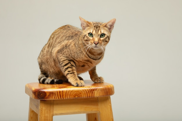 Koncepcja zwierząt domowych kotów kot serengeti na szarej ścianie