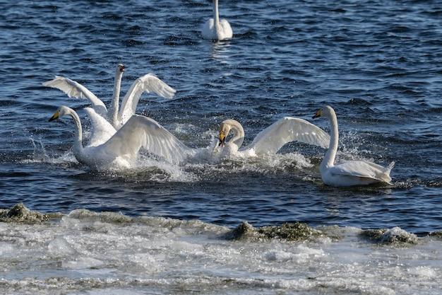Konflikt łabędzi , łabędzie krzykliwe , cygnus cygnus , walczące w wodzie w lista , norwegia