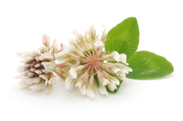 Koniczyna biała z liśćmi na białym tle