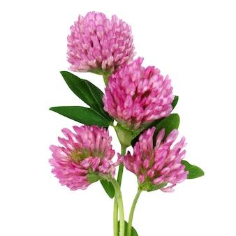 Koniczyna czerwona łąka na białym tle. kwiaty i łodygi.