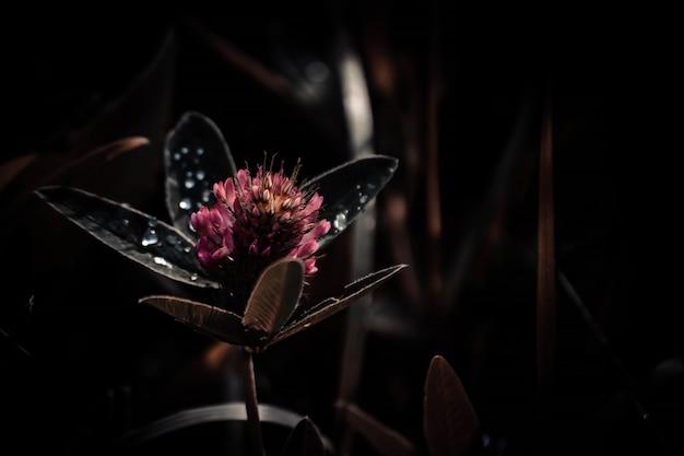 Koniczyna czerwona z kroplami rosy na liściach, ciemny filtr