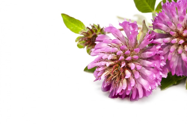 Koniczyna fioletowe kwiaty na białym tle