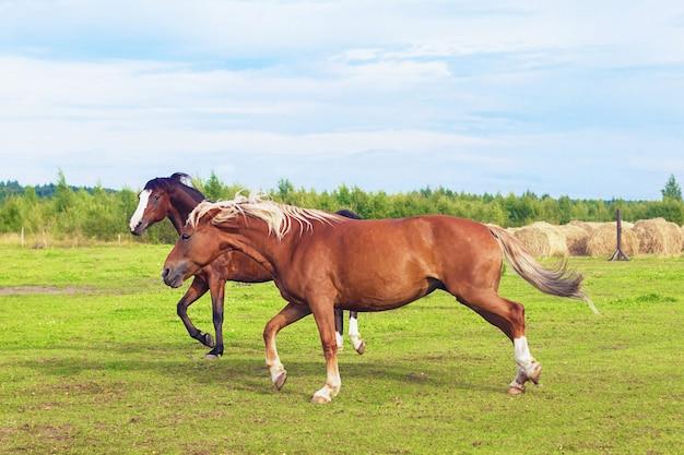 Konie biegające galopem po pastwisku