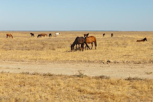 Konie jedzą suchą trawę na pastwisku na stepach kazachstanu.