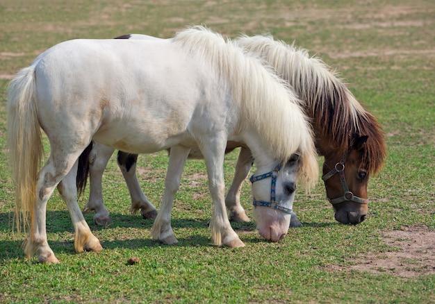 Konie karłowate odpoczywają na trawie.