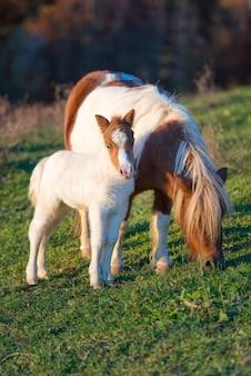 Konie kucykowe matka z małymi