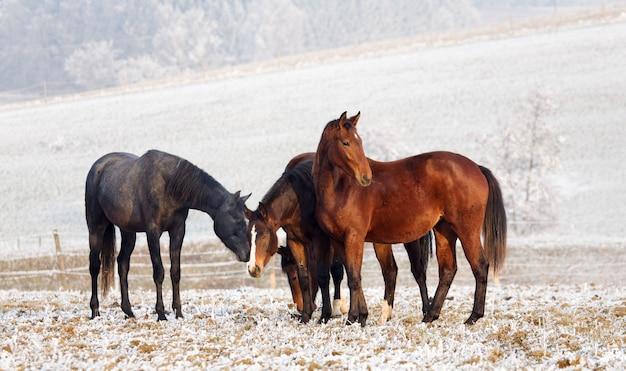Konie otoczone ośnieżonym polem