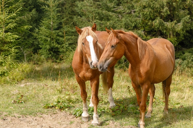 Konie pasące się na pastwisku górskim
