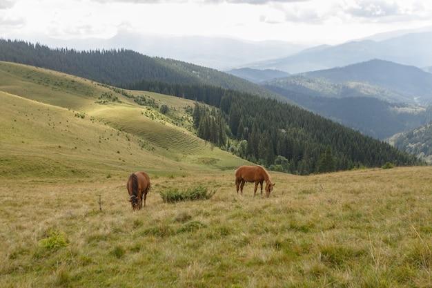 Konie pasły się na pastwisku górskim na tle gór. lato