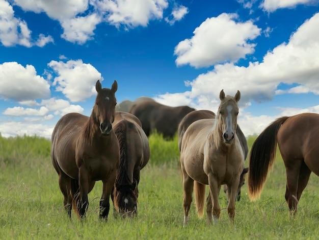 Konie pełnej krwi angielskiej pasące się na polu.