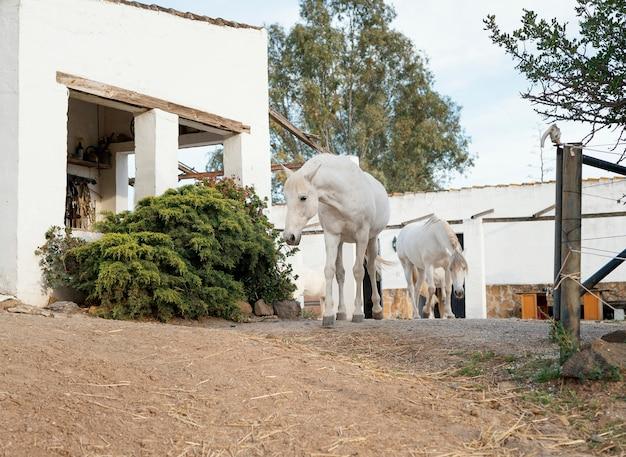 Konie swobodnie wędrują po farmie