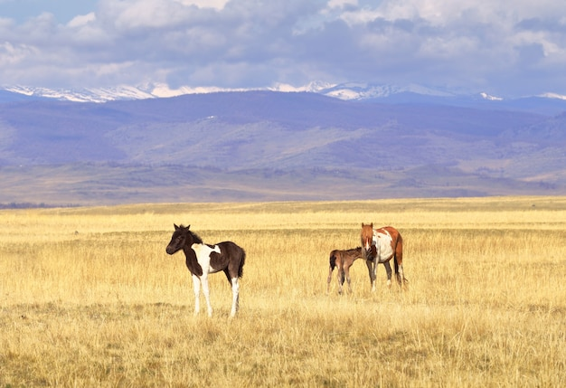 Konie w górach ałtaj klacz i źrebię pasą się na wiosennej łące na stepie kurai