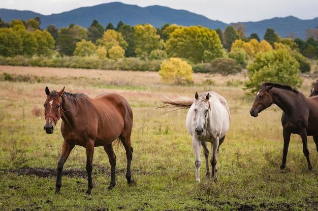 Konie w otwartym polu trawy