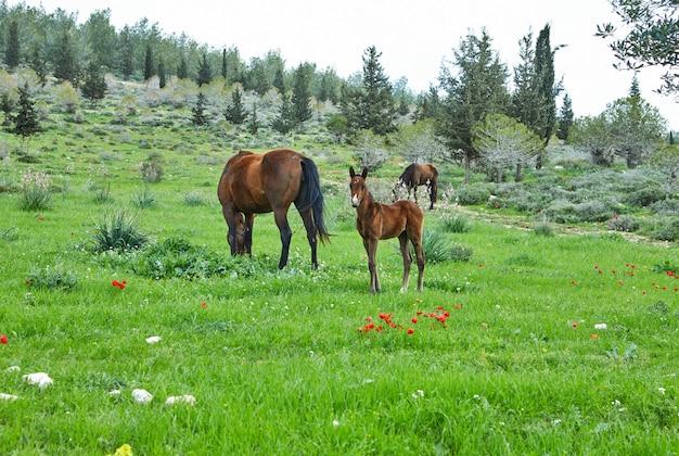 Konie z źrebakiem pasającym się na trawie z kwitnącymi zawilcami, izrael na wiosnę