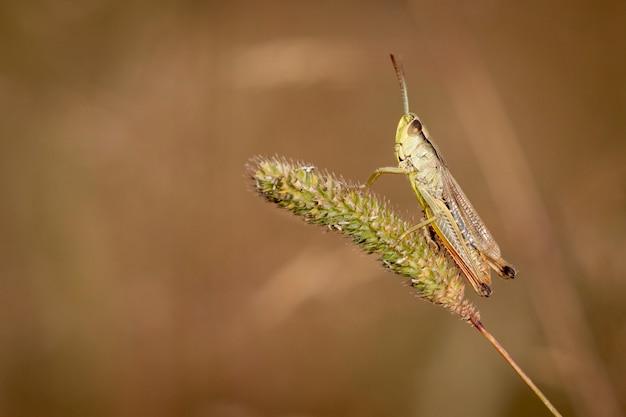 Konik polny łąkowy, chorthippus parallelus, stojący na źdźbło trawy