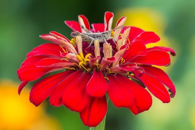 Konik polny siedzi na kwiatku cynia