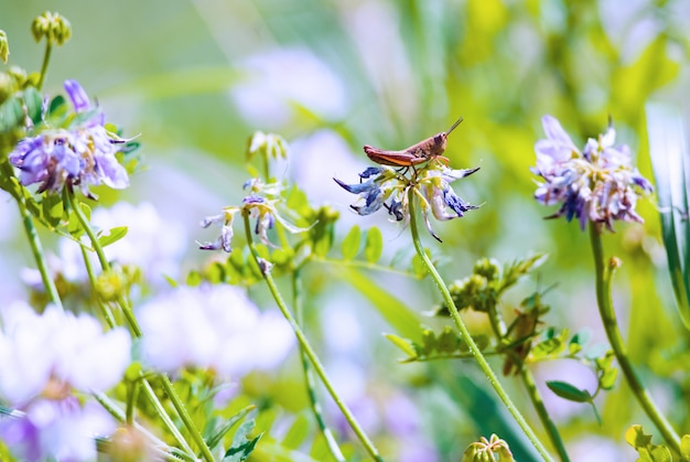 Konik polny w wymarzonym ogrodzie, wiosenne kwiaty kwitnące na pięknym polu