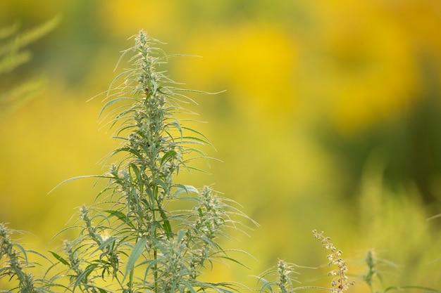 Konopie medyczne, roślina, młody pęd na żółtym tle.