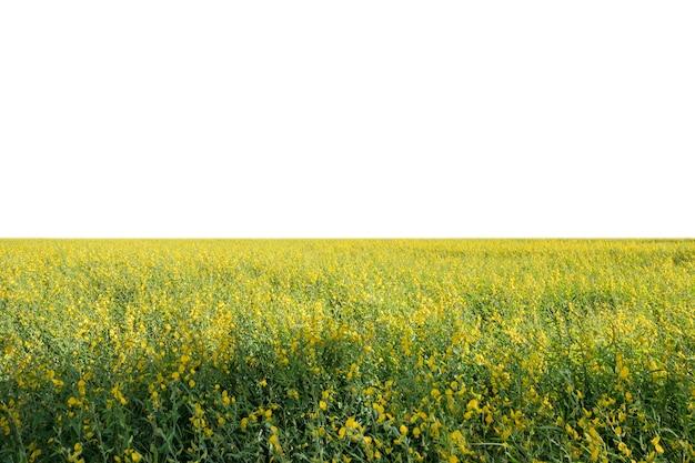 Konopie słoneczne, chanvre indien, crotalaria juncea żółty kwiat w polu na białym tle
