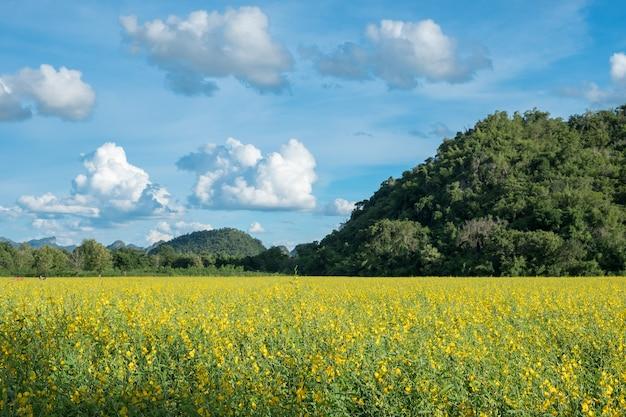 Konopie słoneczne, chanvre indien, crotalaria juncea żółty kwiat w polu z górą i błękitnym niebem