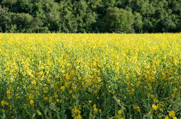 Konopie słoneczne, chanvre indien, crotalaria juncea żółty kwiat w zielonym polu
